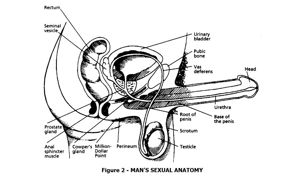 Anatomia seksualna mężczyzny